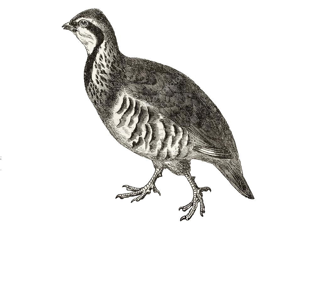 partridge illustration